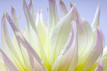 Obraz na PlexiPastellfarbene Dahlie mit Tautropfen