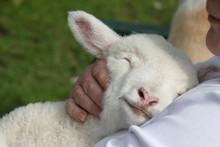Lamb Snuggling In