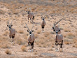 canvas print picture - Gemsbok Antelope (Oryx gazella)