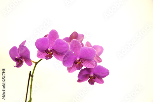 Naklejka premium Orchidea Phalaenopsis