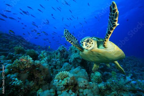 Fotografia Hawksbill Sea Turtle on coral reef