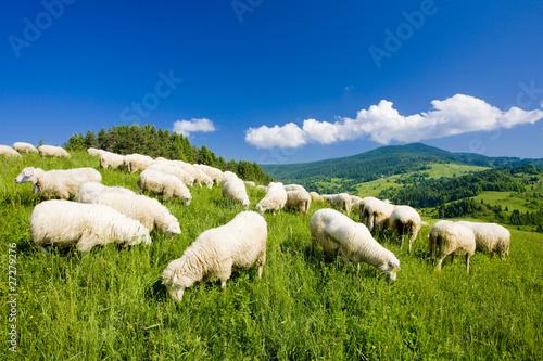 Staande foto Schapen sheep herd, Mala Fatra, Slovakia
