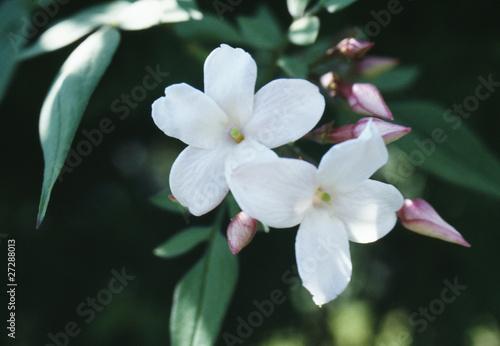 Photo  Fleur de jasmin