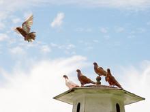 Brown Pigeon Flying Away