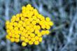 canvas print picture - Helichrysum Italicum ou Immortelle d'Italie