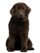Brown Newfoundland Puppy, 10 Months Old, Sitting