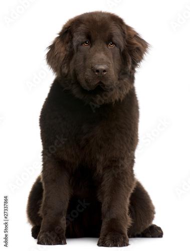 Fotomural Brown Newfoundland puppy, 10 months old, sitting