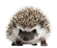 Four-toed Hedgehog, Atelerix A...