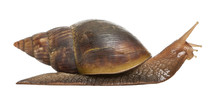 Giant African Land Snail, Acha...