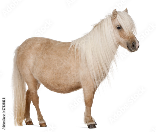 Palomino Shetland pony, Equus caballus, 3 years old, standing Canvas