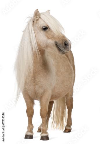 Carta da parati Palomino Shetland pony, Equus caballus, 3 years old, standing