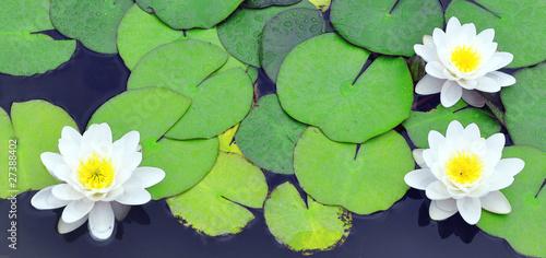 Tuinposter Waterlelies White water lilies