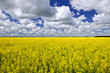 canvas print picture Canola field