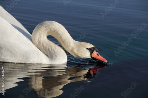 Fotografie, Obraz  Swan drinking.