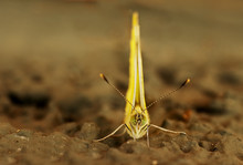 Yellow Butterfly Facing The Camera