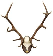 Antlers Of A Huge Stag, Mounte...