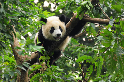 Photo  Giant panda climbing tree