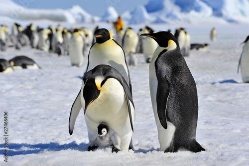 Fotografía Emperor Penguin