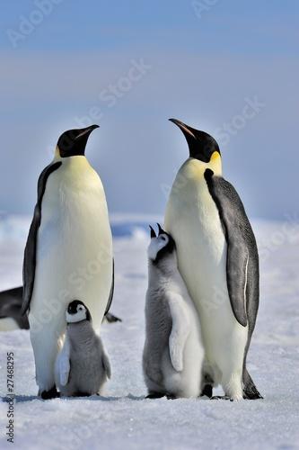 Photo sur Toile Pingouin Emperor Penguin