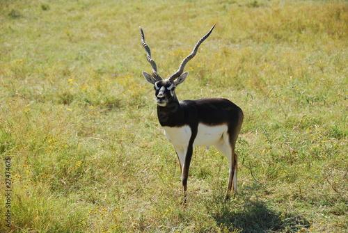 Poster Antelope Blackbuck antelope