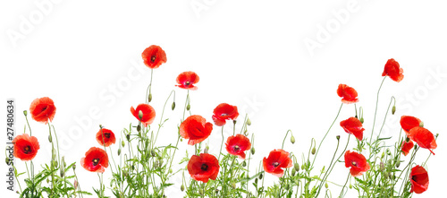 Obraz red poppies on white - fototapety do salonu