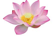 Majestic Lotus Flower