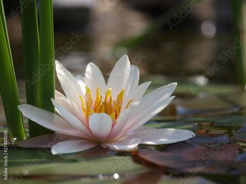 Deurstickers Waterlelies nenuphar