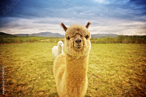 Cadres-photo bureau Lama Alpaca in a field