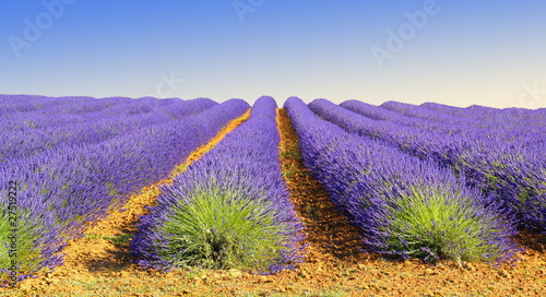 Printed kitchen splashbacks Lavender Culture de lavande