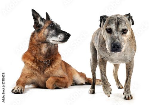 Photo  vieux chiens