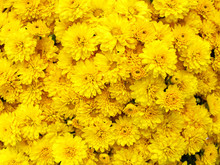 Dark Yellow Chrysanthemum Flow...