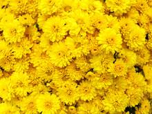 Dark Yellow Chrysanthemum Flow...