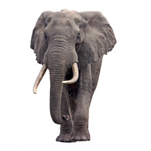 Elephant Walking Isolated