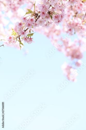 Foto op Plexiglas Kersen 満開の彼岸桜