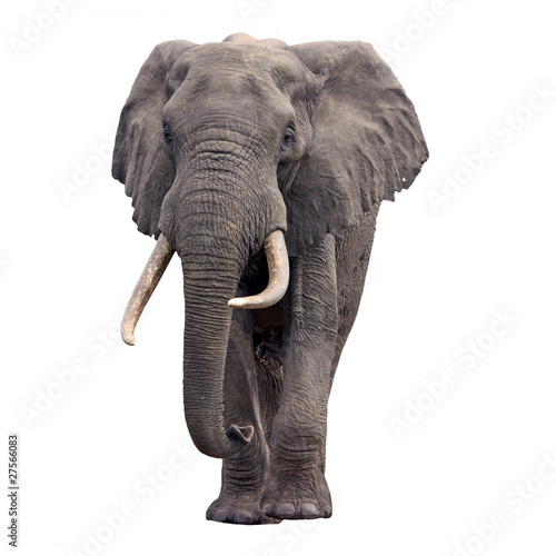 Deurstickers Olifant elephant walking isolated