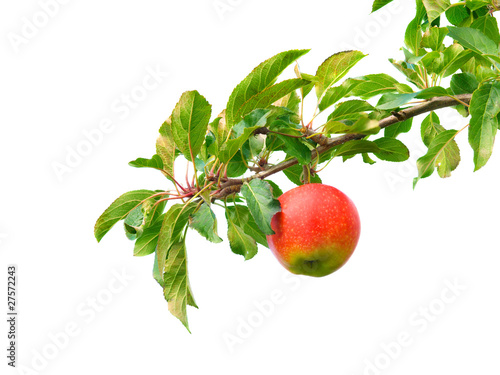 Ast mit Apfel Canvas Print