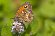 Gatekeeper Butterfly In English Countryside