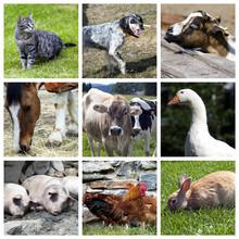 Animali Della Fattoria - Collage