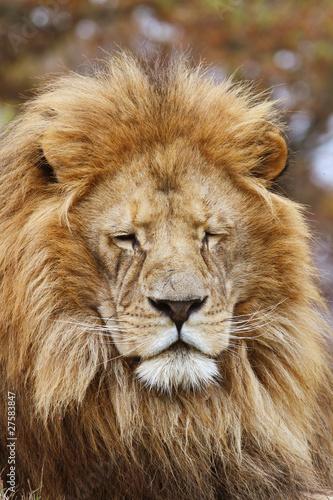 Staande foto Leeuw leone