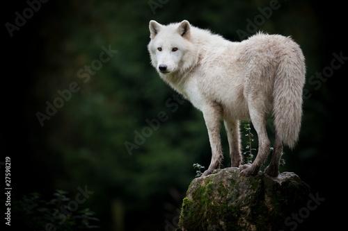 Papiers peints Loup loup hurler mort