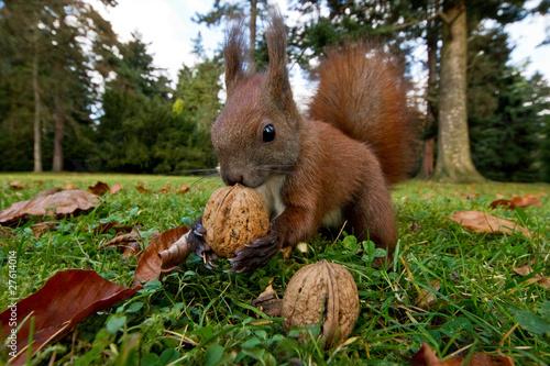 Poster Eekhoorn Eichhörnchen