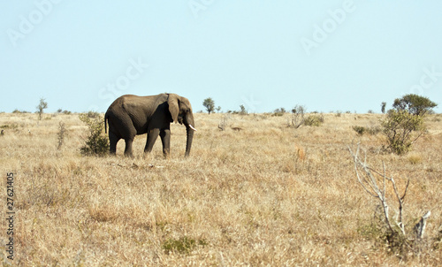 Foto op Aluminium Olifant Elephant walking on dry veldt in the sun