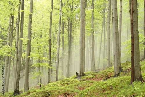 Foto auf Acrylglas Wald im Nebel Spring beech forest with mist moving between the trees