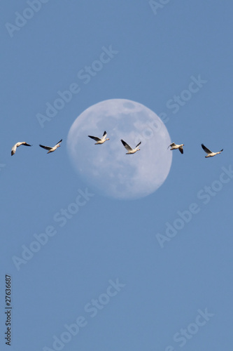 Aufkleber - Snow Geese With Moon