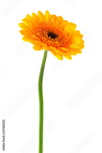 Foto op Plexiglas Gerbera yellow gerbera close up