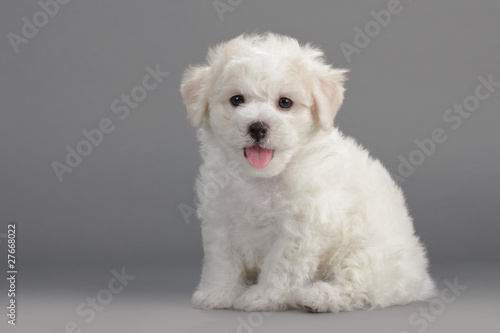 Canvas Print Bichon Frise puppies
