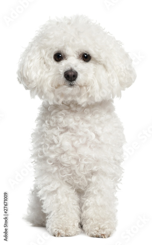 Bichon frise, 5 years old, sitting in front of white background Canvas Print