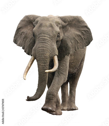 Deurstickers Olifant elephant approaching isolated