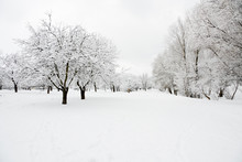 Trees In Park Covered By Snow