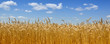 canvas print picture - Gold wheat field
